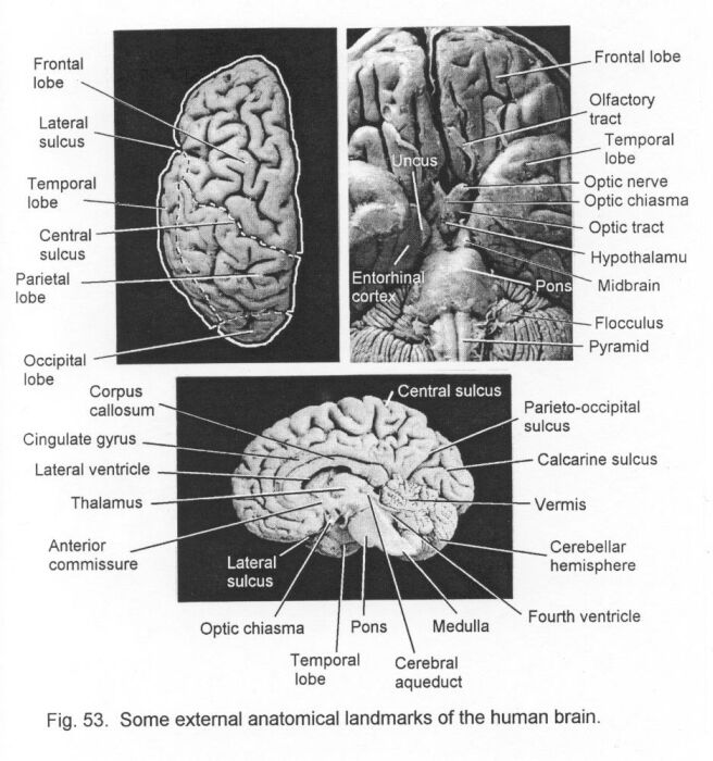 Anatomical Foundations Of Neuroscience